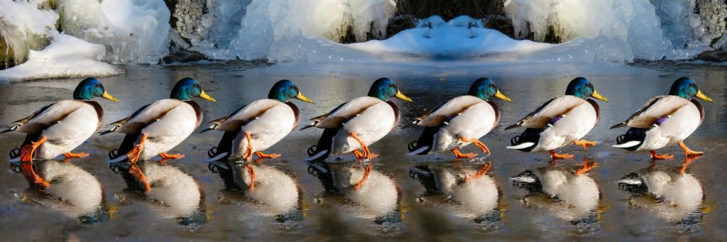 Park-Enten-Winter