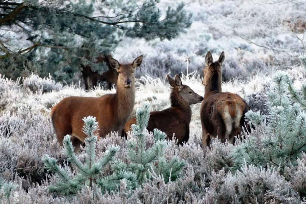 deer-1940368_1920