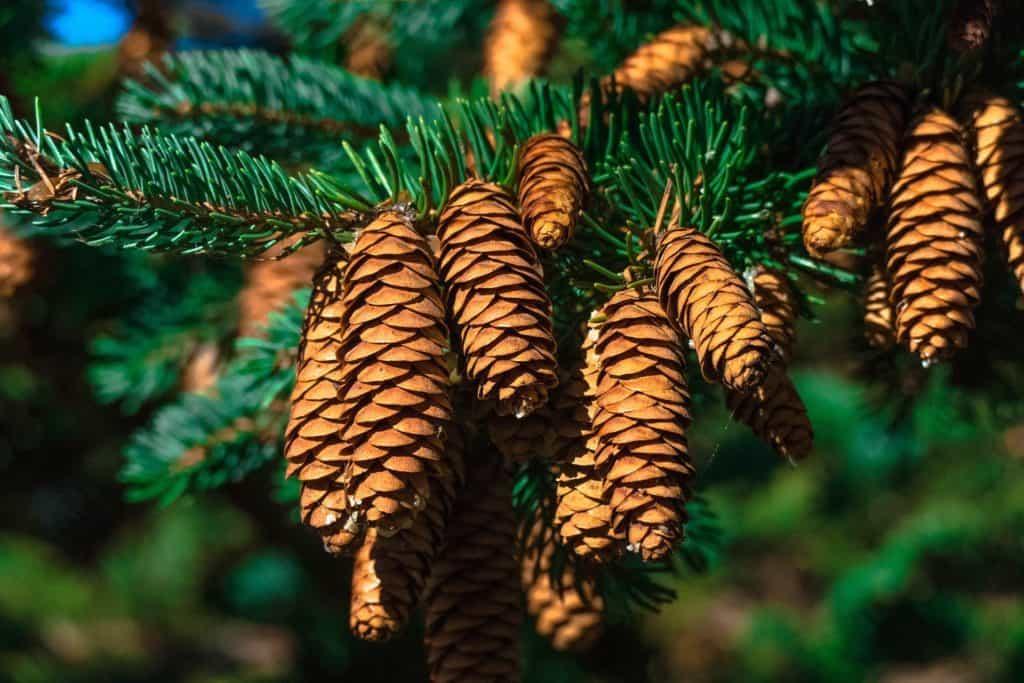 fir-tree-1330187_1920